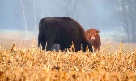 """Ich pięćdziesięciu, ona jedna – czyli krowa na """"gigancie"""""""