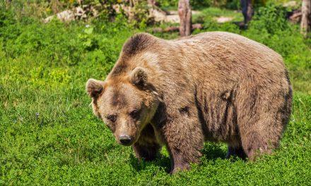 Uwaga, niedźwiedzie!