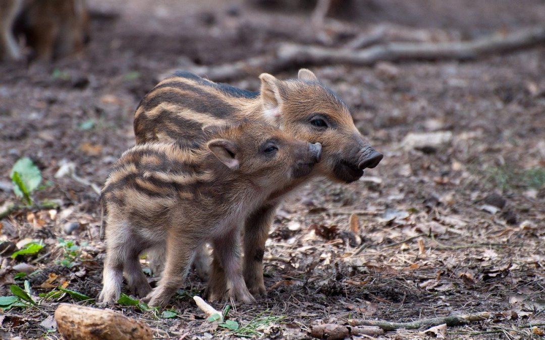 Coraz więcej dzikich zwierząt w miastach – Maciej Pawłowski